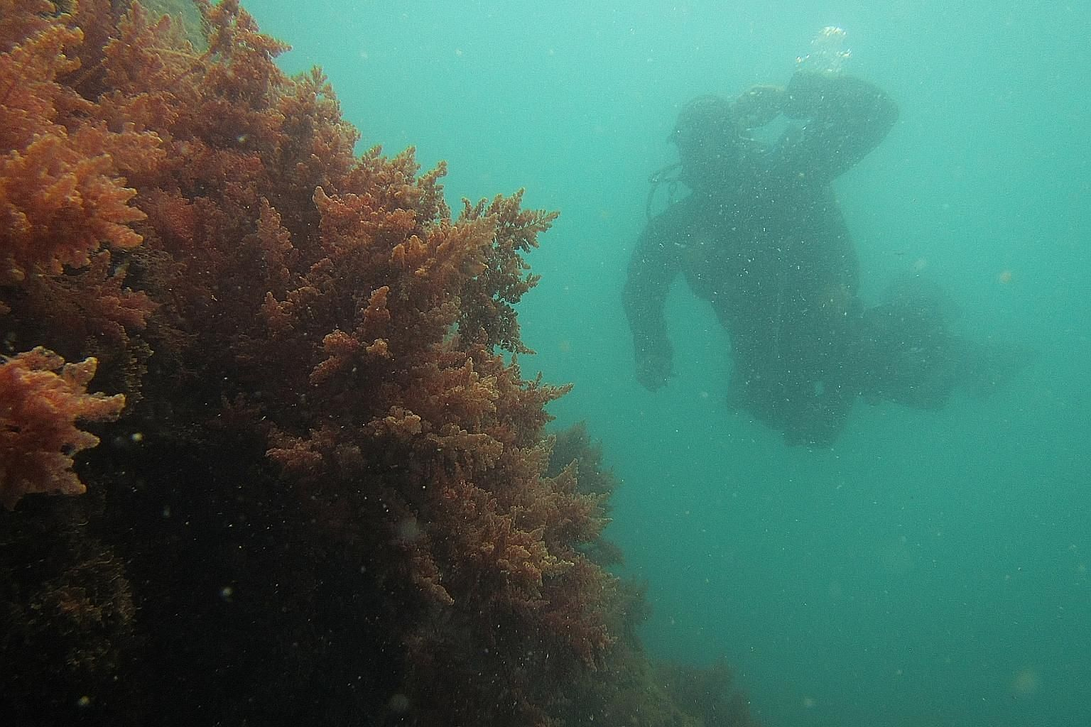 Researchers say farming seaweed to feed livestock has another significant benefit. Their method of underwater farming can help to cool water temperatures - a threat to marine life and the Great Barrier Reef.