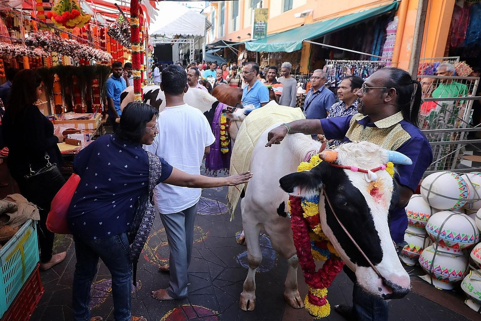 This decorated cow was part of an animal parade in Little India yesterday under the annual Pongal festival.