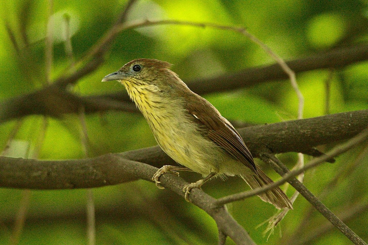 A pin-striped tit babbler at Kent Ridge Park. By analysing genetic material in samples taken from 46 babblers here, scientists traced the trail of genetic decline to about 50 years ago, when large parts of Singapore were urbanised.