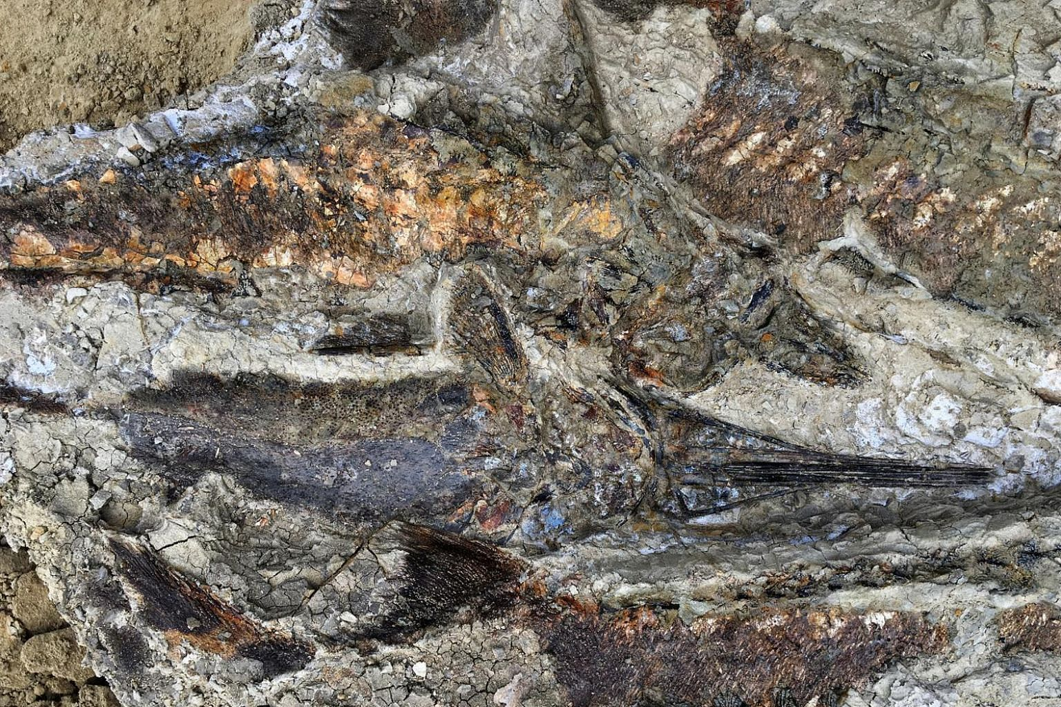 A tangled mass of fish from the recently dug-up deposit in North Dakota's Hell Creek formation.