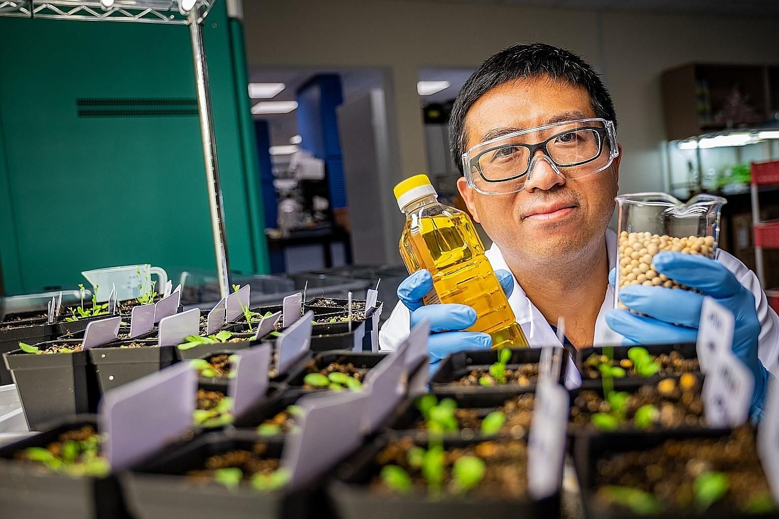 Top: Nanyang Technological University Assistant Professor Ma Wei with a bottle of cooking oil and a beaker of modified seeds in his lab. Above: Prof Ma injecting a solution into a test plant's leaf. PHOTOS: NANYANG TECHNOLOGICAL UNIVERSITY
