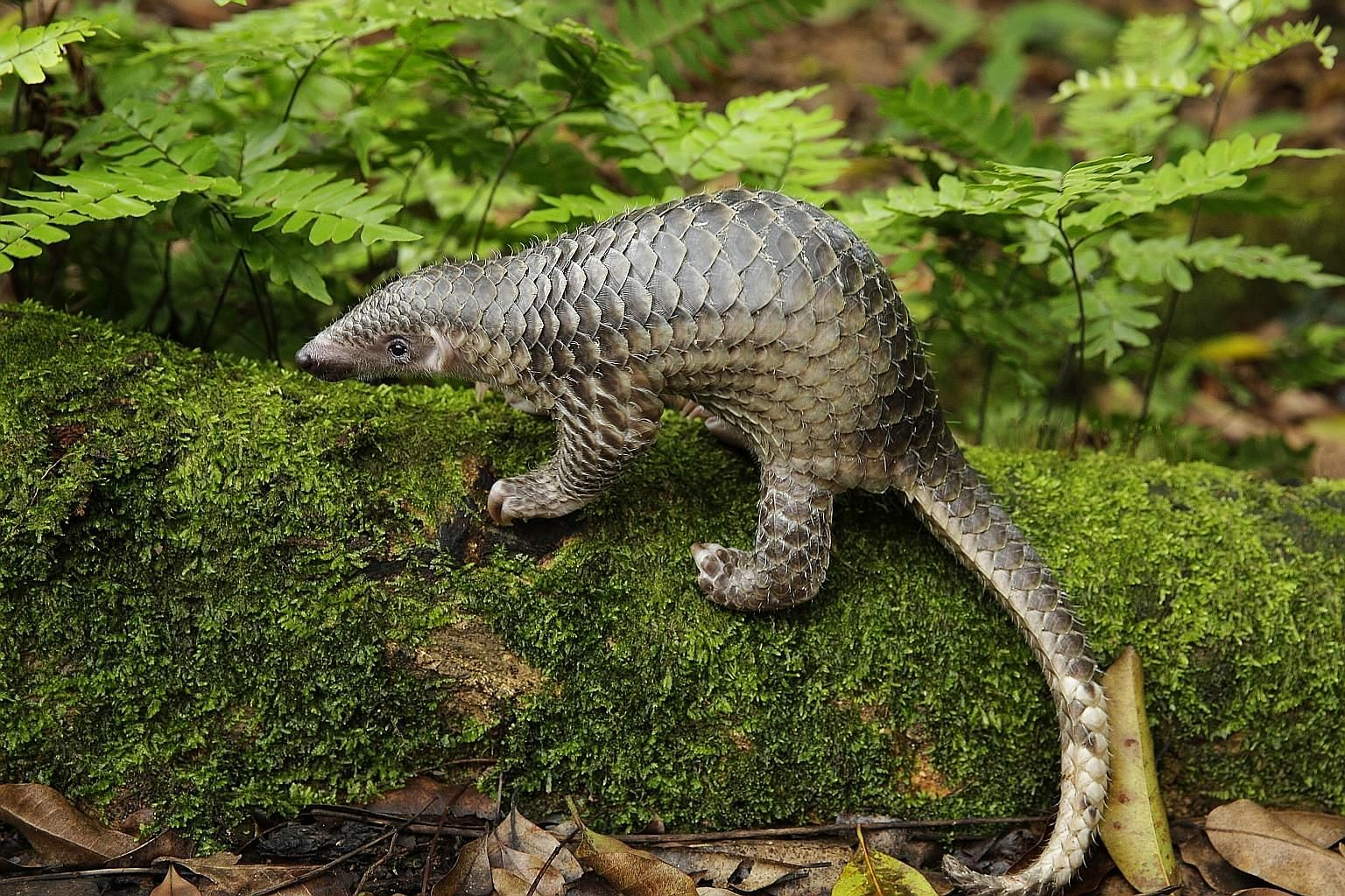 The Sunda pangolin, the only species of pangolin native to Singapore, is among critically endangered land and freshwater vertebrates in South-east Asia which are getting emergency conservation attention.