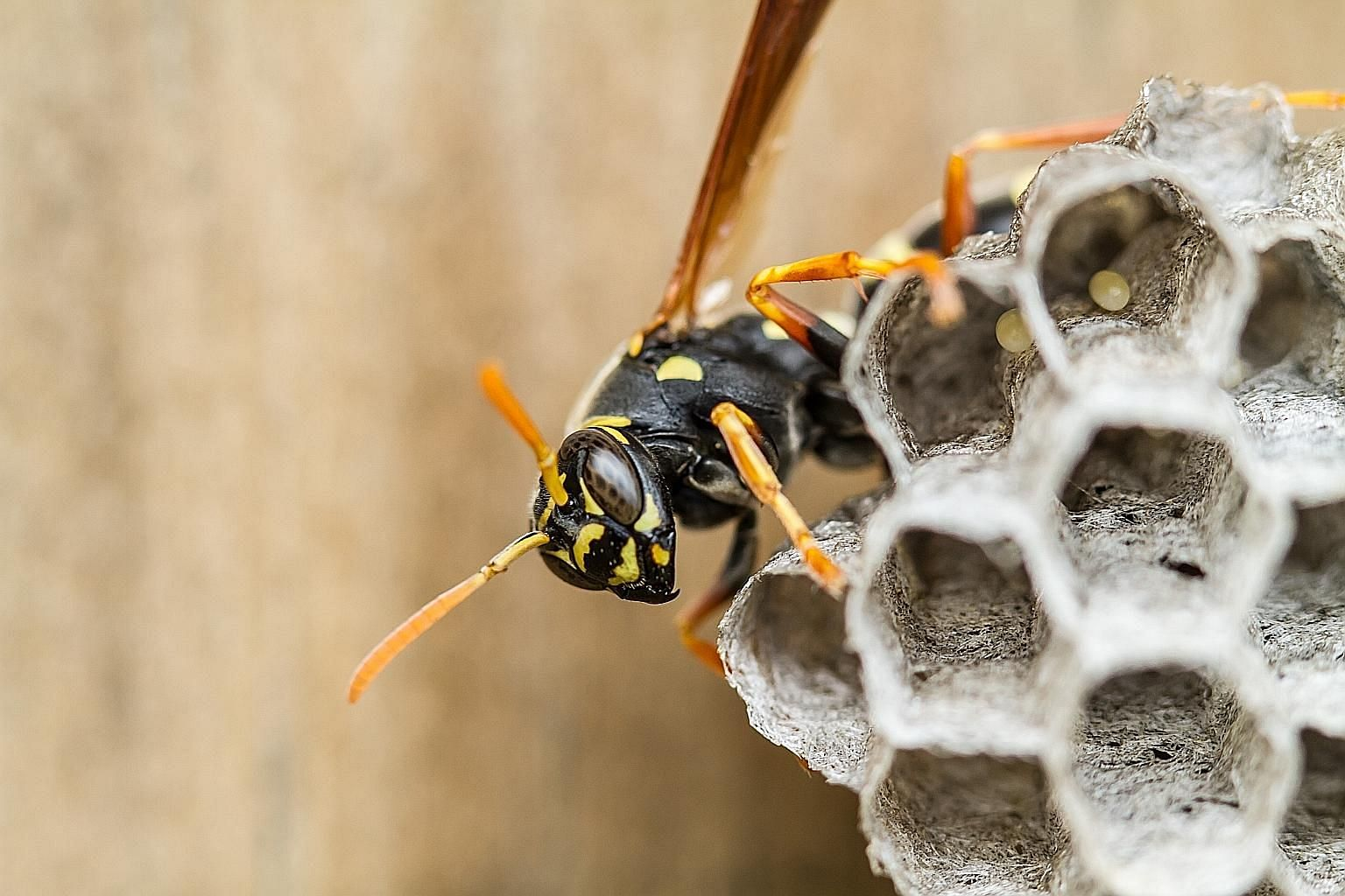 A study has found that paper wasps have the ability to compare things indirectly, based on previous juxtapositions.