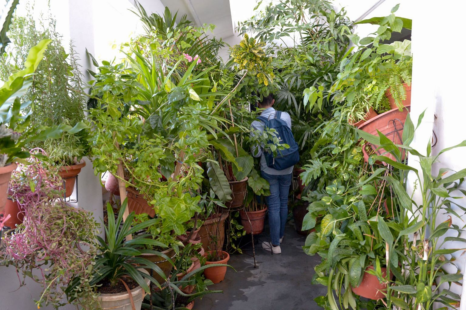 """Above: A reporter making his way through the potted plants. Left: A view of the """"jungle"""" from an adjacent HDB block. The town council says it has advised the resident several times not to place too many potted plants in the common area."""