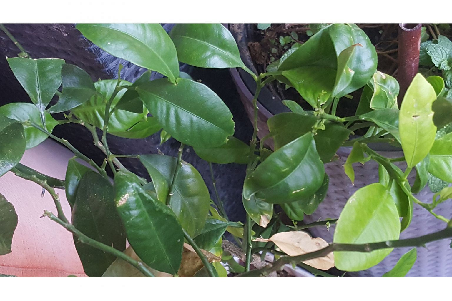 Plant is not limau purut, but possibly Common Lime