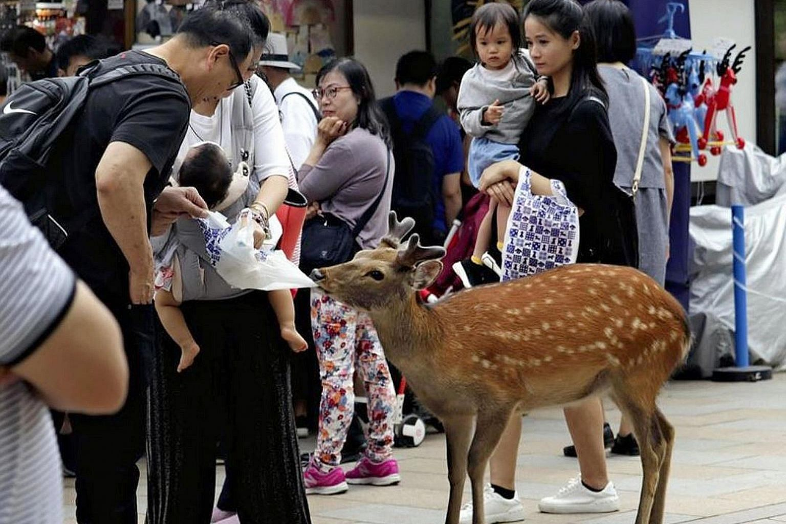 A deer trying to snatch a plastic bag from a tourist in Japan's Nara Park. Several foreign objects, including plastic bags, have been found in the stomachs of deer in the park, and the problem has been attributed to the worsening behaviour of tourist
