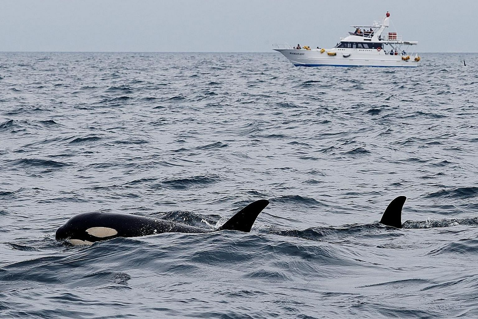 Whale-watching boat captain Masato Hasegawa (above) sounding the alert that killer whales (right) are spotted in the sea near Rausu in Hokkaido. PHOTOS: REUTERS