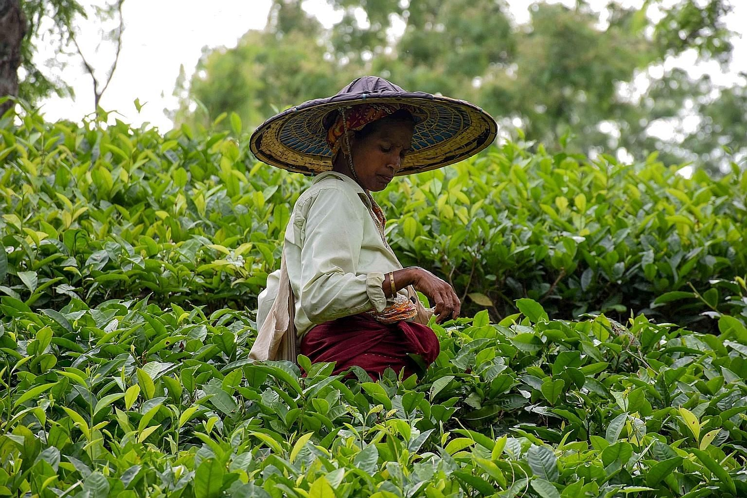 A tea plantation labourer in Agartala, India. The tea market is riddled with counterfeit varieties and adulterated tea, which pose health risks and affect prices. Last month, an Indian company had 40 tonnes of adulterated tea seized from its factory.