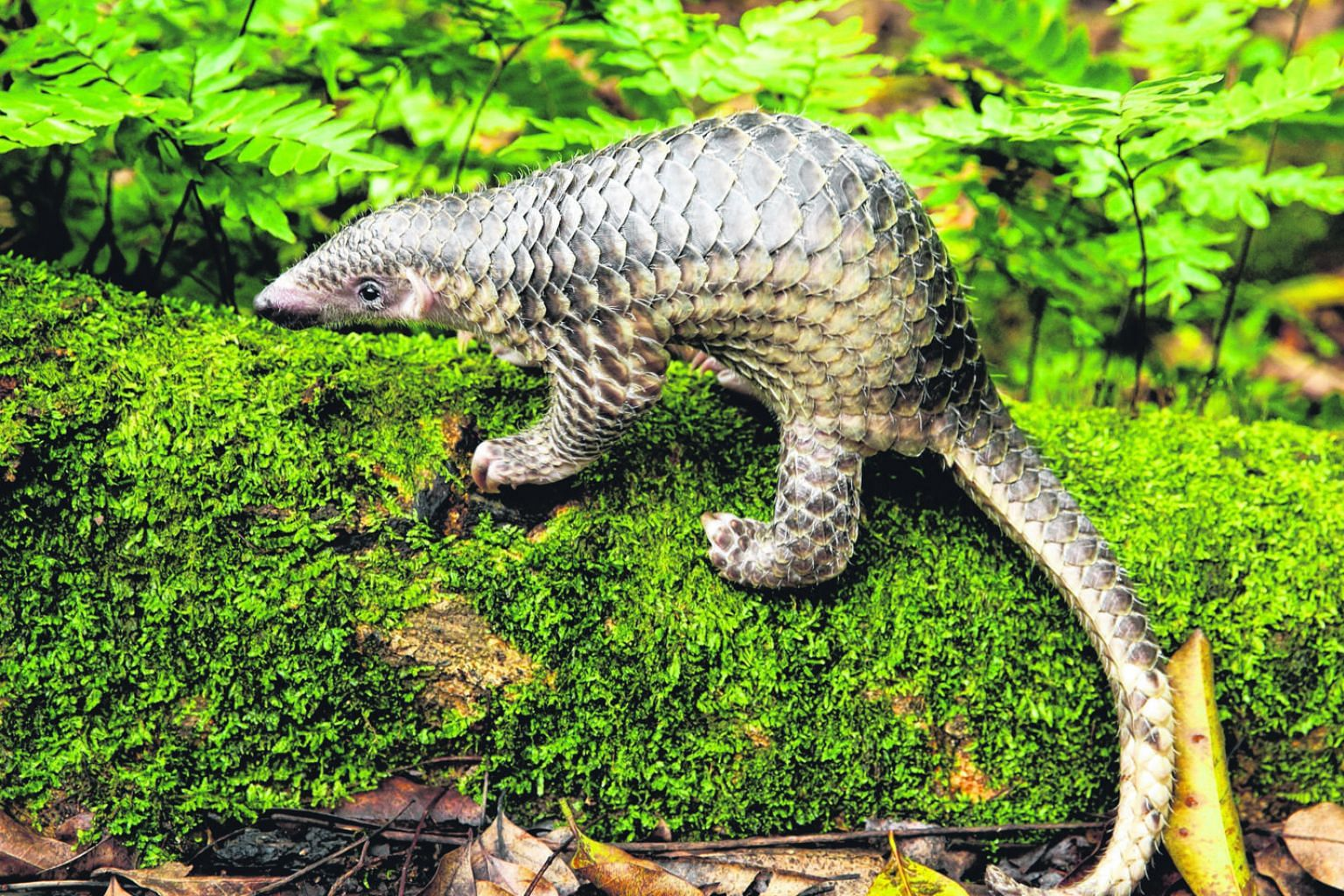 The Sunda pangolin, a Singapore native, is largely nocturnal and, therefore, most in danger at night when it is searching for food or mates. On top of being slow-moving, it rolls into a ball instead of running away when it detects danger, which is no