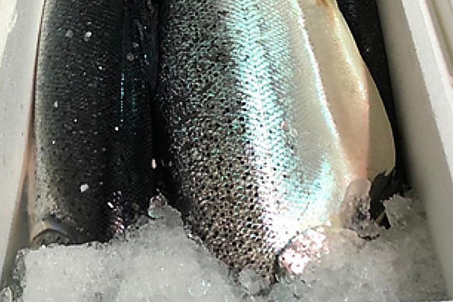 The Singapore Food Agency issued a recall to importer Yu Fish on Wednesday, after it found bacteria in a sample of Norwegian salmon. The Norwegian Seafood Council says it was informed by the Singapore importer that the small strain of bacteria that w