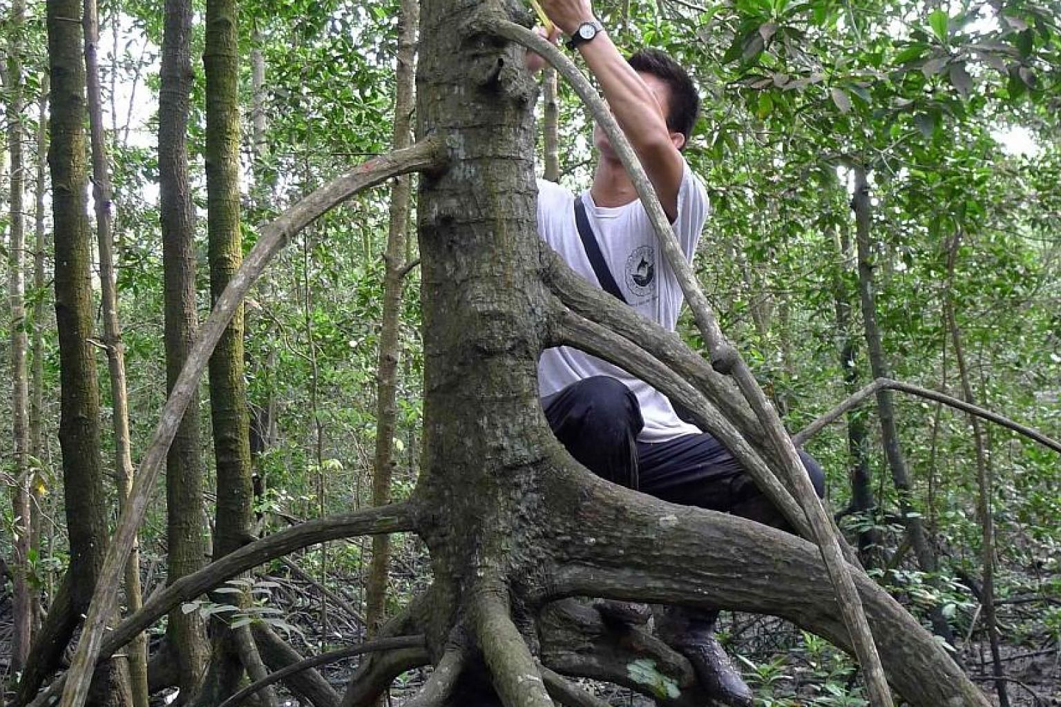 A researcher from the National University of Singapore conducting a carbon stock assessment of mangrove forests here. Singapore's mangroves store the equivalent of 1.6 million tonnes of carbon dioxide, despite covering only a small length of the coas