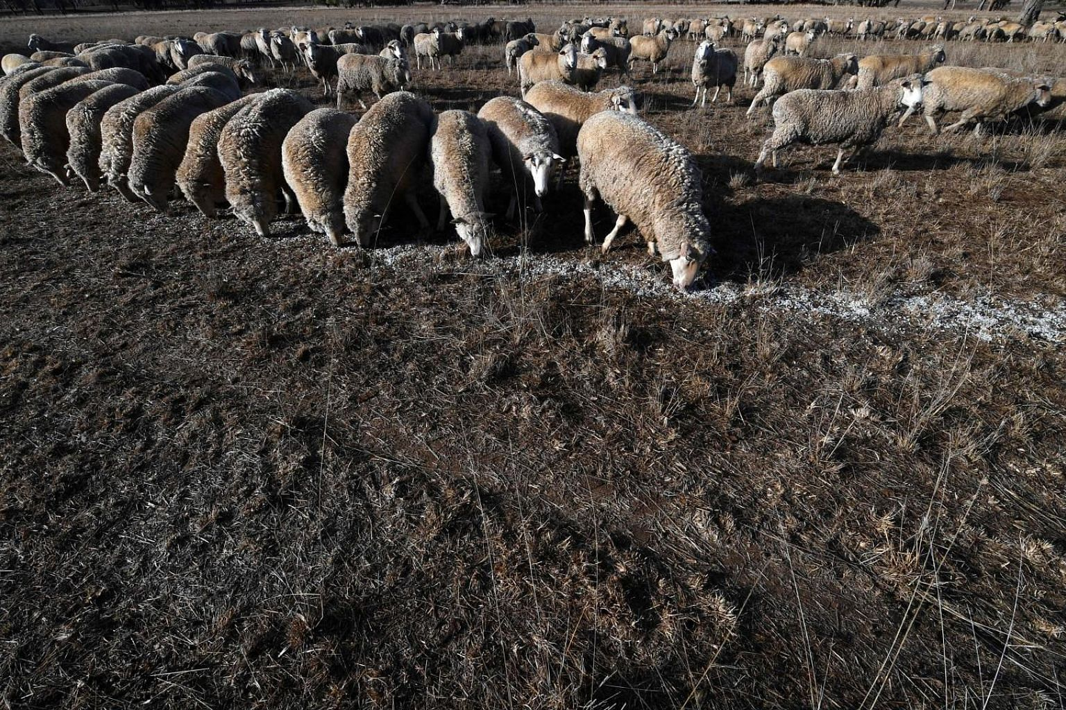 Sheep feeding on cottonseed in a New South Wales village as the land was too dry for grass to grow. Several rivers in the Australian state are predicted to run dry by November, and the Bureau of Meteorology says there is no sign that the drought is g