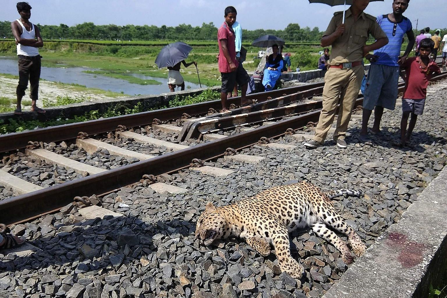 An Aug 9, 2018, photo showing a leopard which was killed by a speeding train in Hatigisha village, some 25km from Siliguri, in West Bengal. Leopards prefer habitats that are often found outside protected forests that host India's tiger population.