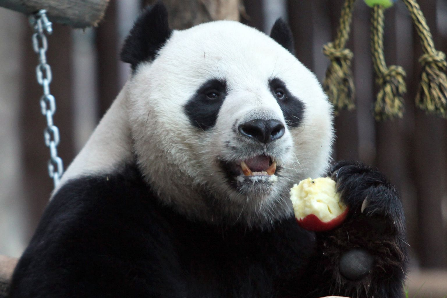 """Chinese giant male panda Chuang Chuang on his 10th birthday at Chiang Mai Zoo in northern Thailand. The panda, who died aged 19 on Monday, had been on loan from China since 2003 as part of Beijing's """"panda diplomacy""""."""