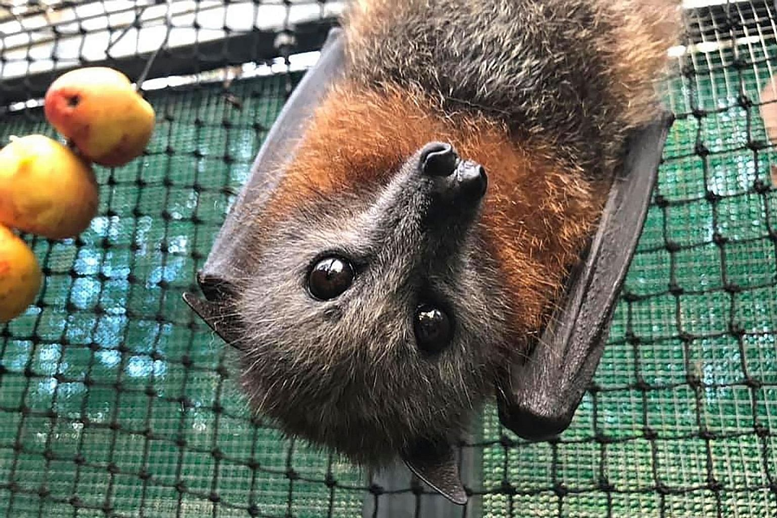 A fruit bat rescued by Bats Queensland amid an extended drought in Australia. PHOTO: AGENCE FRANCE-PRESSE