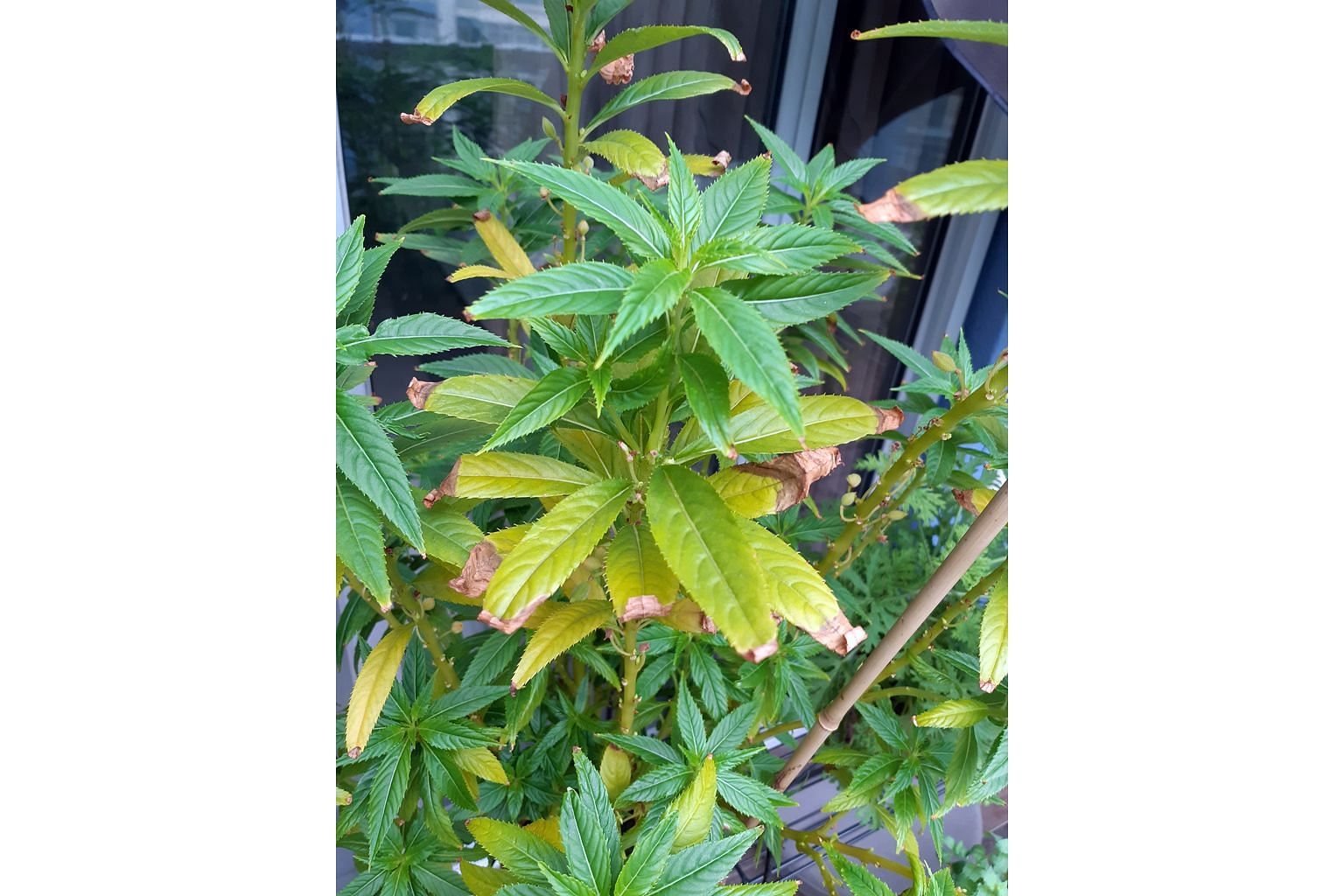 Stressed balsam plant may be lacking nutrients and water.