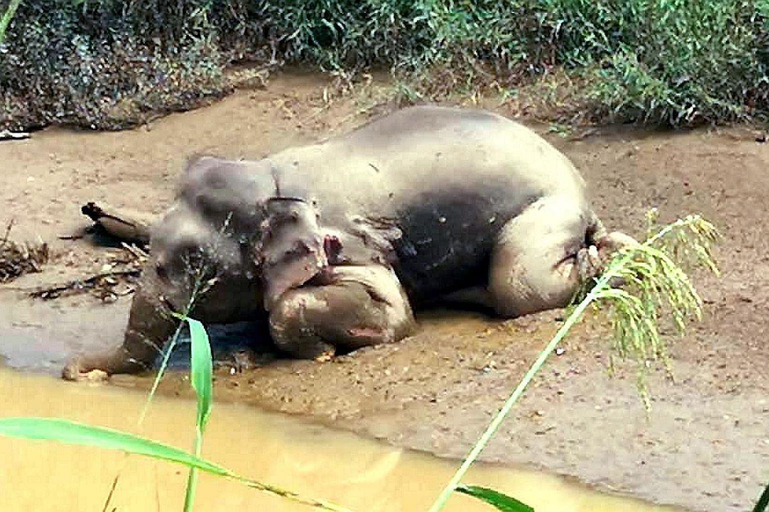 The Borneo pygmy elephant's body was found with more than 70 bullet wounds and its tusks removed.
