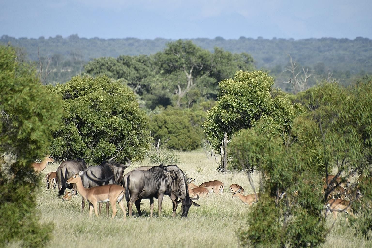 Herds of impala and wildebeest often graze together for safety.