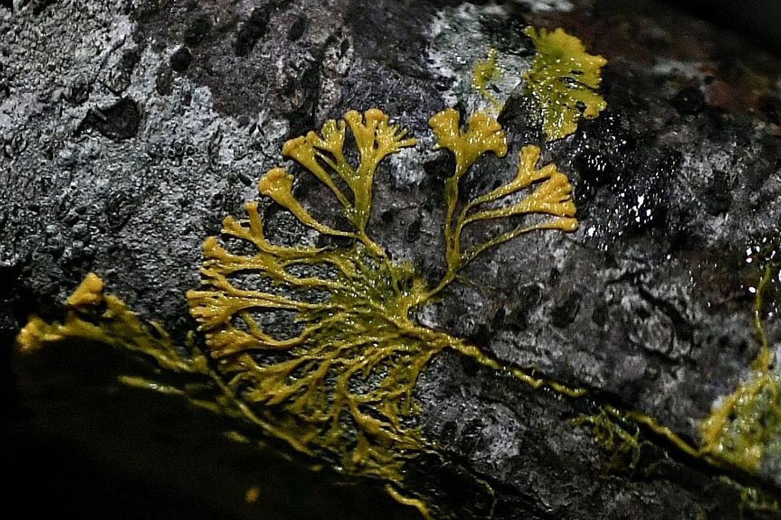 It is not known whether the blob is a plant, fungus or animal. Despite its lack of neurons, the organism is capable of learning. PHOTO: AGENCE FRANCE-PRESSE