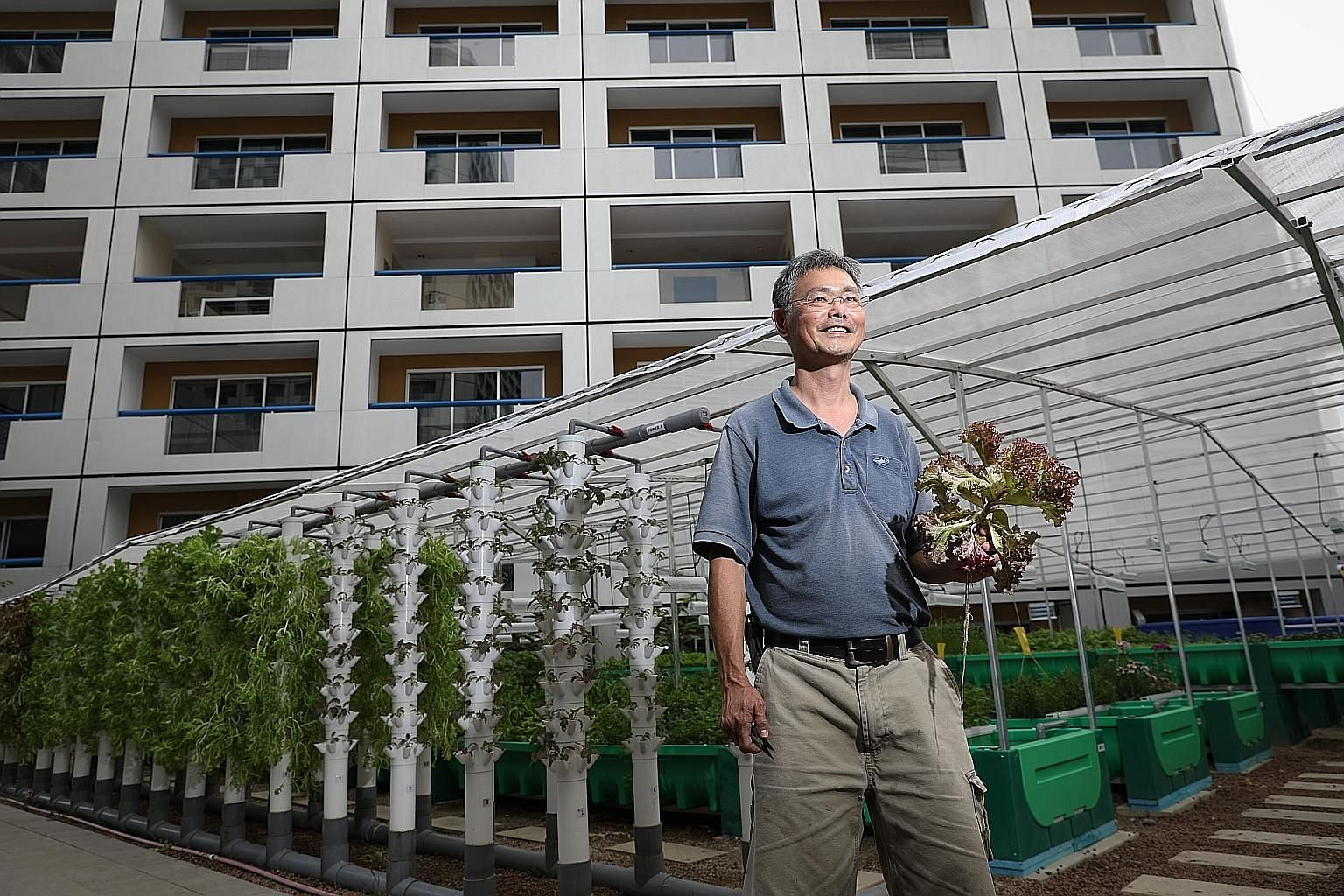 Mr James Lam, 59, a gardener for Fairmont Singapore and Swissotel The Stamford, at the aquaponics garden yesterday. The 450 sq m farm is expected to supply around 30 per cent of vegetables and 10 per cent of the fish needed in both hotels within 10 m