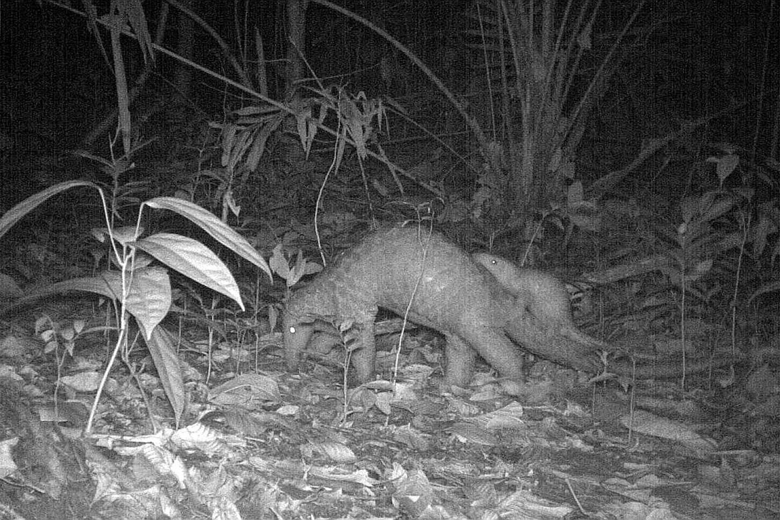 A Sunda pangolin mother and juvenile spotted near Sime Trail in October 2017 after drilling works nearby were completed.