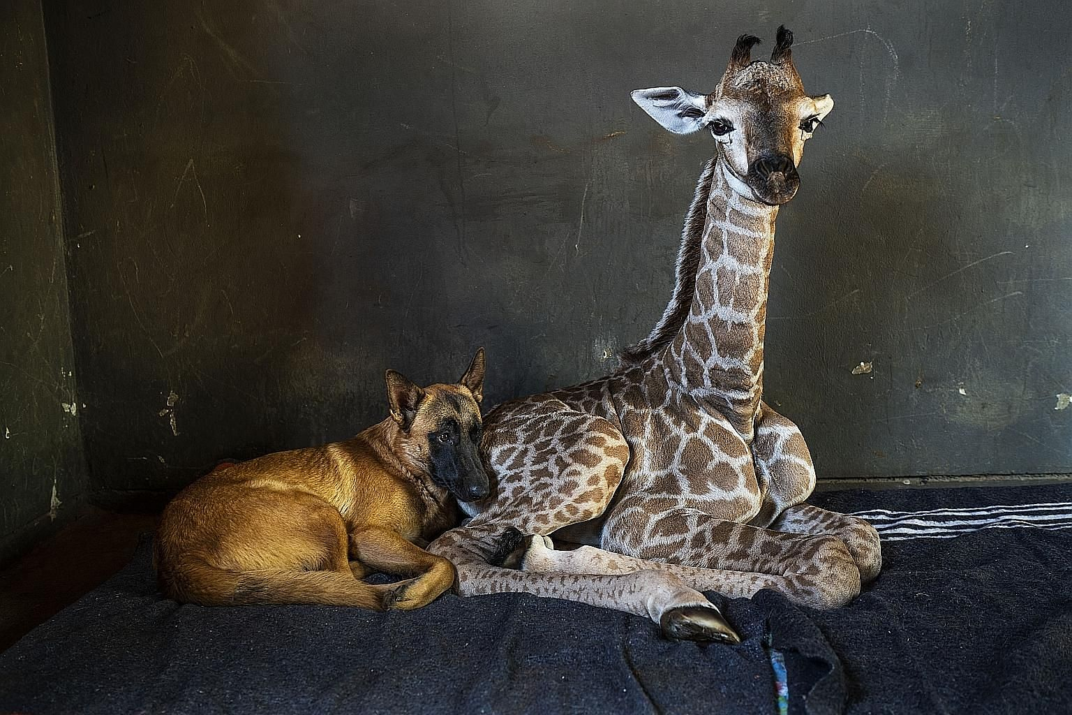 Hunter, a young Belgian Malinois, and his giraffe friend Jazz at The Rhino Orphanage in the Limpopo province of South Africa, in a photo taken on Nov 22. PHOTO: ASSOCIATED PRESS