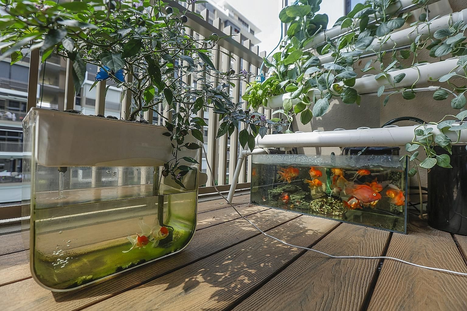 Dr Lim Jia Yang's aquaponics set-up - made up of a special pump, PVC pipes and a fish tank - in the balcony of his Sengkang home. He is working on creating a larger aquaponics centre at the Medical Alumni Association, with harvested vegetables to be