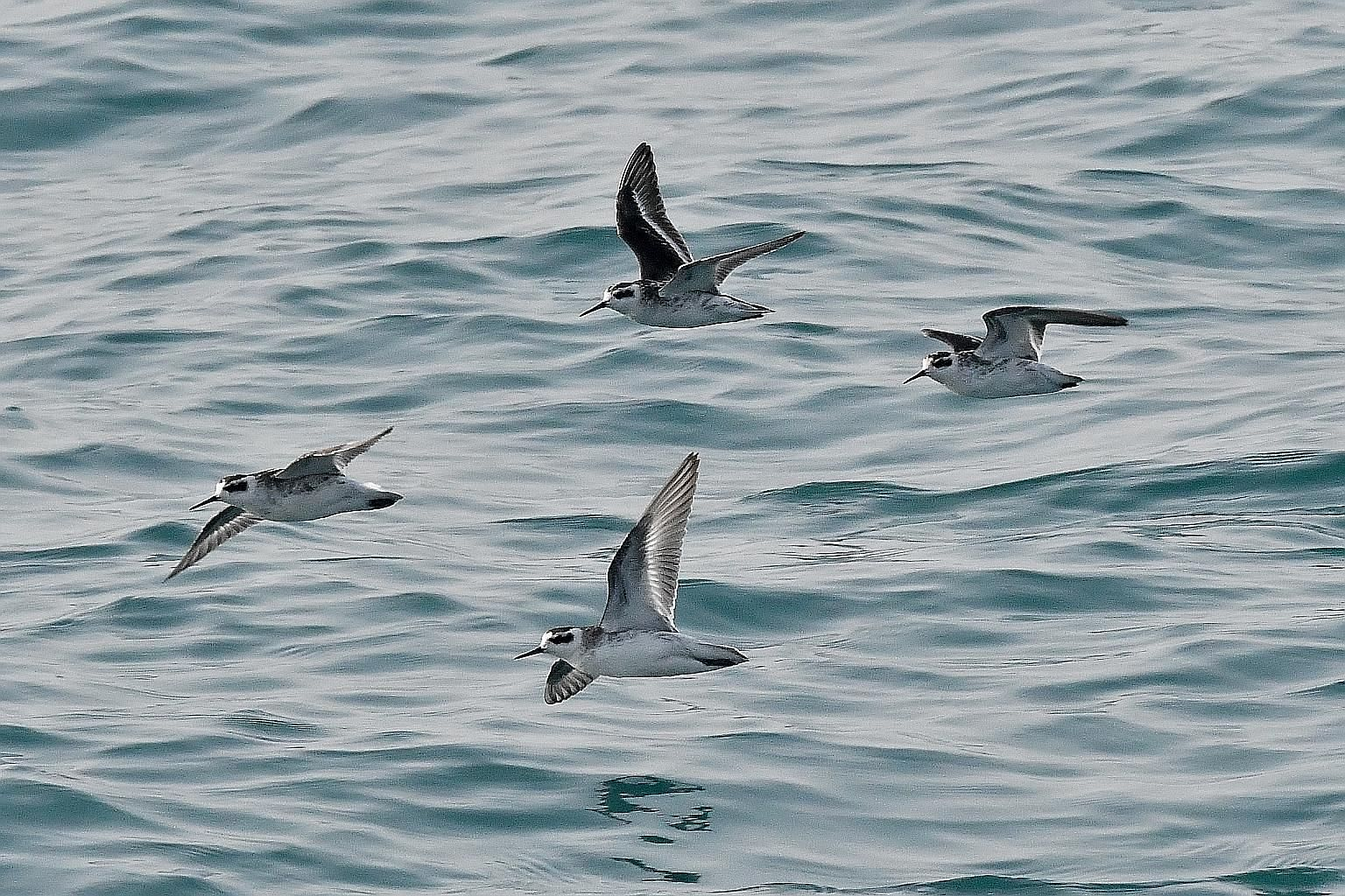 Birdwatchers taking part in the Nature Society (Singapore) Bird Group's pelagic seabird survey at the start of the bird migration season last September. The birds are set to make their way back north from around April. ST PHOTO: LIM YAOHUI The common
