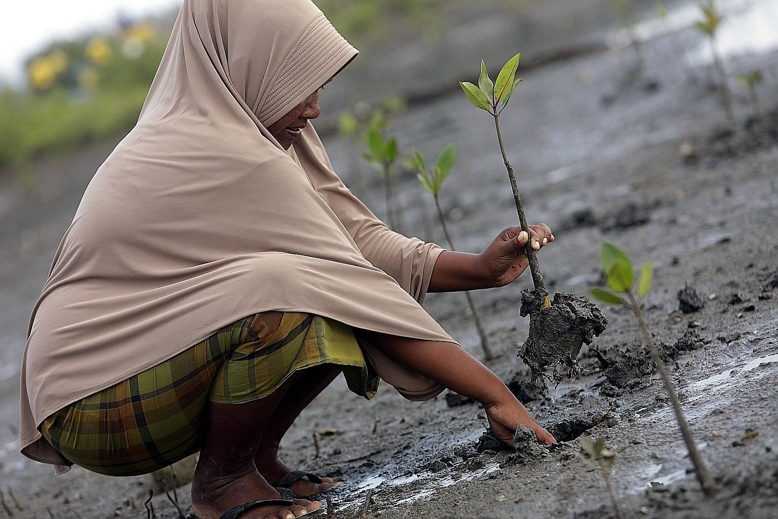 Mangroves being planted last week in the mudflats of the Alue Naga coastal area in Banda Aceh in Indonesia's Aceh province. The trees' capacity to absorb and store carbon represents a huge opportunity for countries like Indonesia and Papua New Guinea