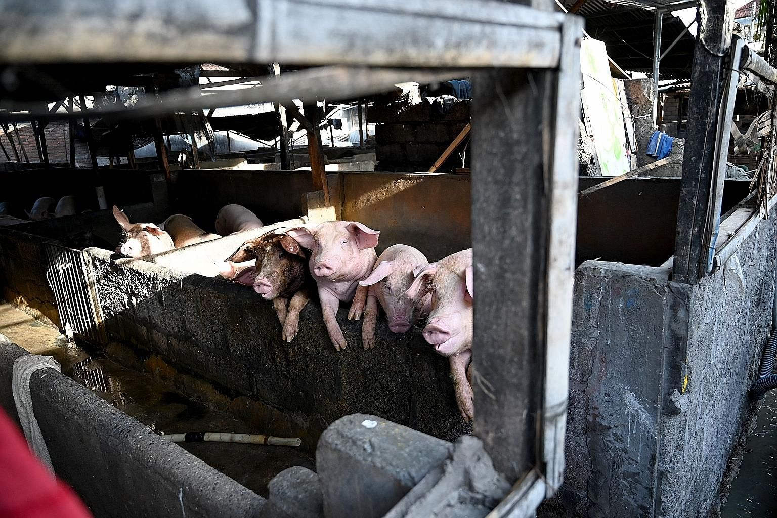 African swine fever is a highly contagious disease which kills pigs, but is not harmful to humans.