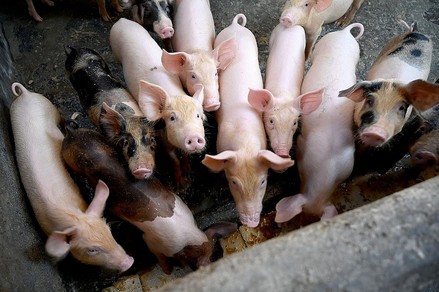 African swine fever has left over 40,000 pigs dead in North Sumatra in the past few months. PHOTO: AGENCE FRANCE-PRESSE