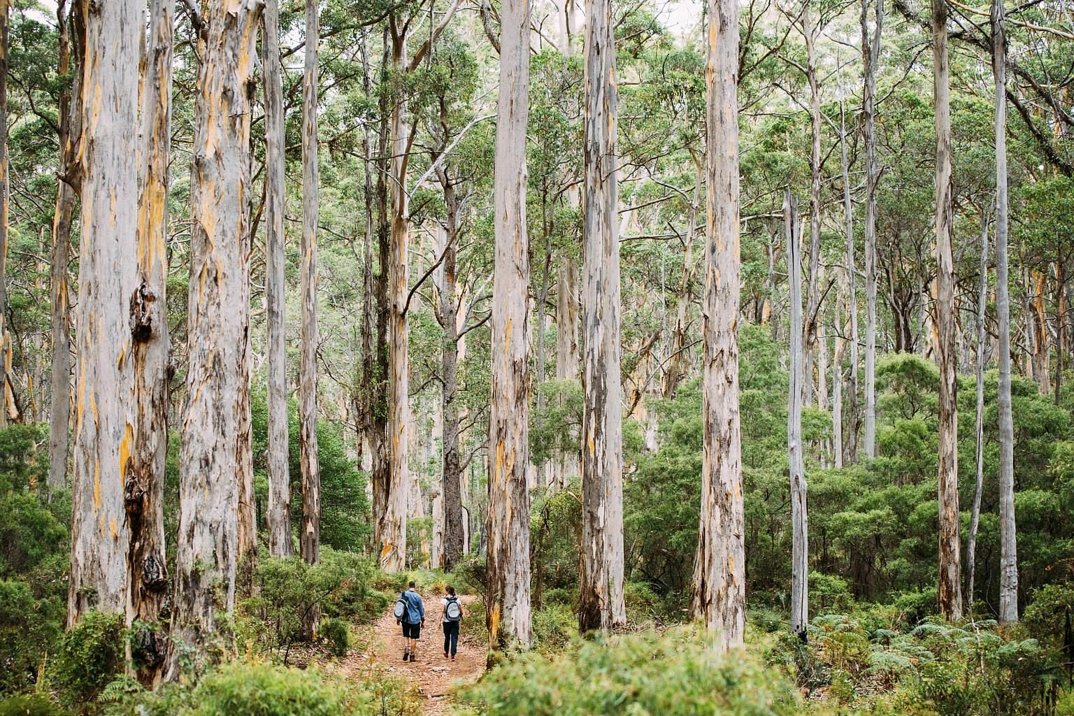 Towering trees abound in the Boranup Karri Forest, creating a magical and timeless feel about the place.