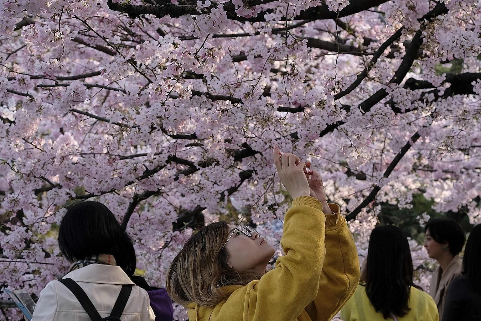The traditional cherry blossom festivals in Tokyo and Osaka, planned for April, will be called off over coronavirus fears. Google is among the organisations cancelling major events because of the evolving situation caused by the virus outbreak.