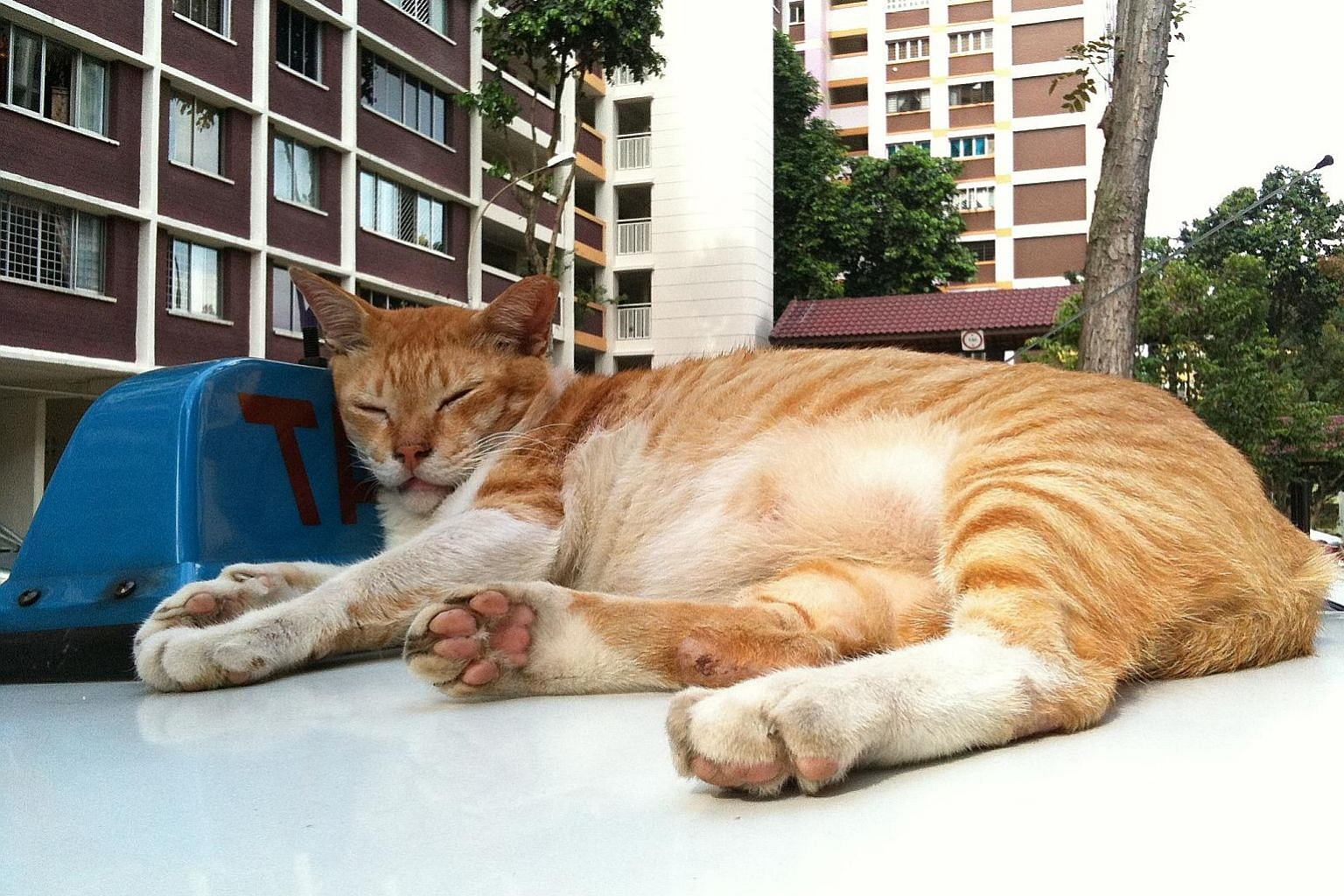 "The HDB says cats are not allowed to be kept in flats as they are seen to be ""generally difficult to contain within the flat"", and ""when allowed to roam indiscriminately, they tend to shed fur and defecate or urinate in public areas, and also make ca"