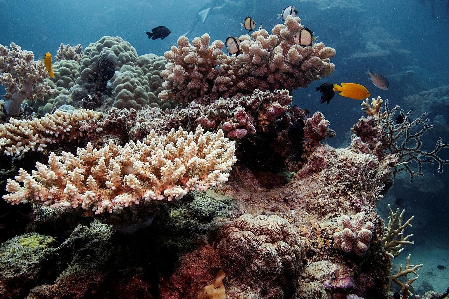 Recovering coral colonies in the Great Barrier Reef off the coast of Cairns, Australia, last October. Back-to-back bleaching events in 2016 and 2017 caused up to half of all shallow water corals in the northern and central sections of the reef to die