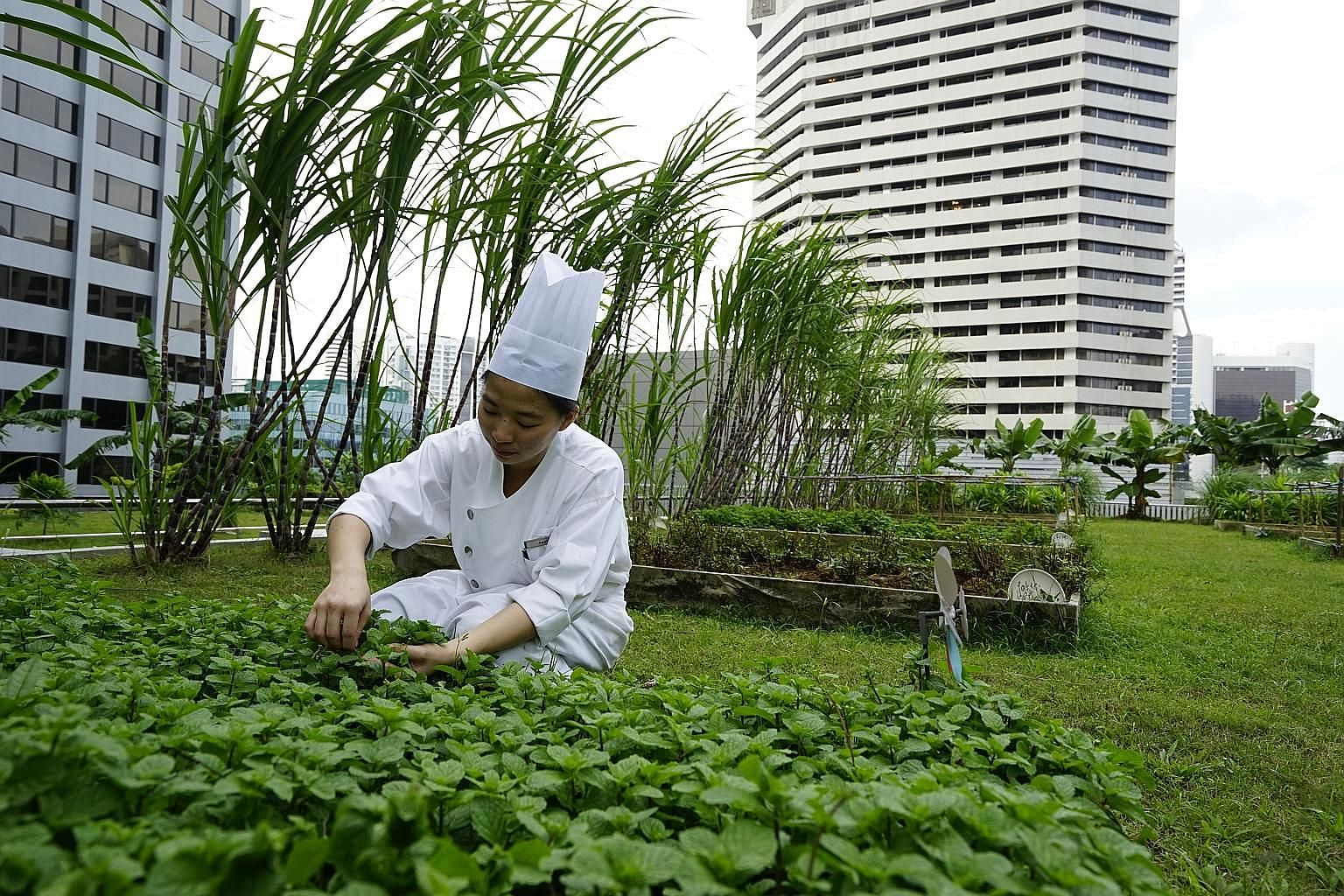 Horticulturist Chin Ai Ling passing a box of mint leaves harvested from One Farrer Hotel's urban farm to a chef to be used as ingredients. The Stamford Brasserie restaurant recently launched a baked tilapia dish, whose ingredients are sourced from it