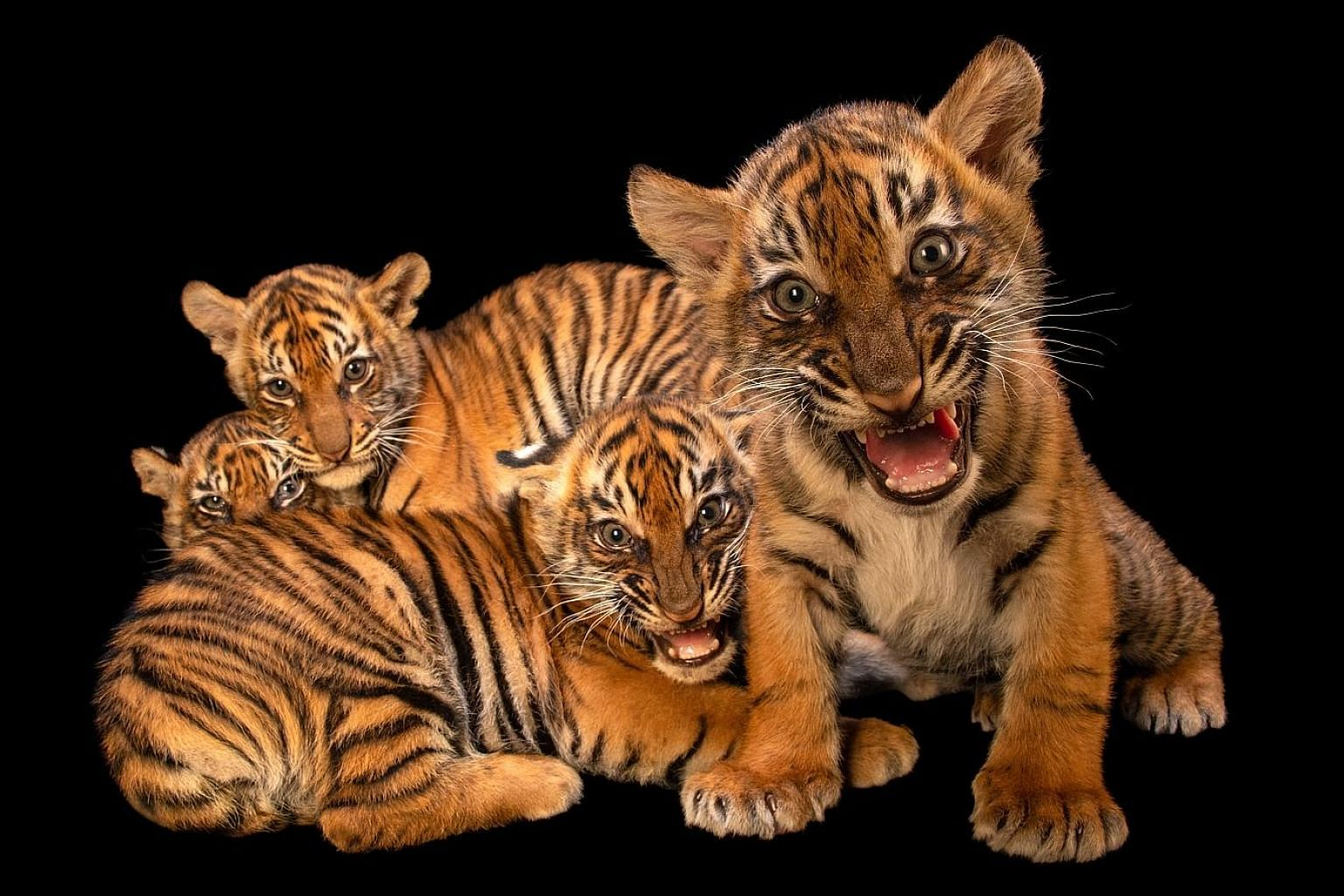 Photographer Joel Sartore (above) uses black or white backgrounds to shoot his subjects, such as Sumatran tiger cubs (left).