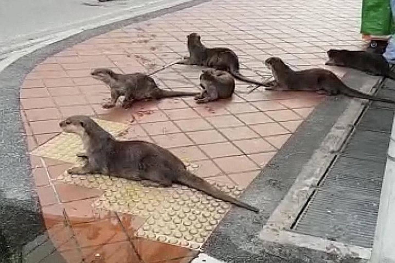A screengrab from a video of a family of smooth-coated otters frolicking in the empty streets outside Mustafa Centre, a shopping mall in the Little India neighbourhood, on Friday. PHOTO: CONTRIBUTOR TO OTTERWATCH