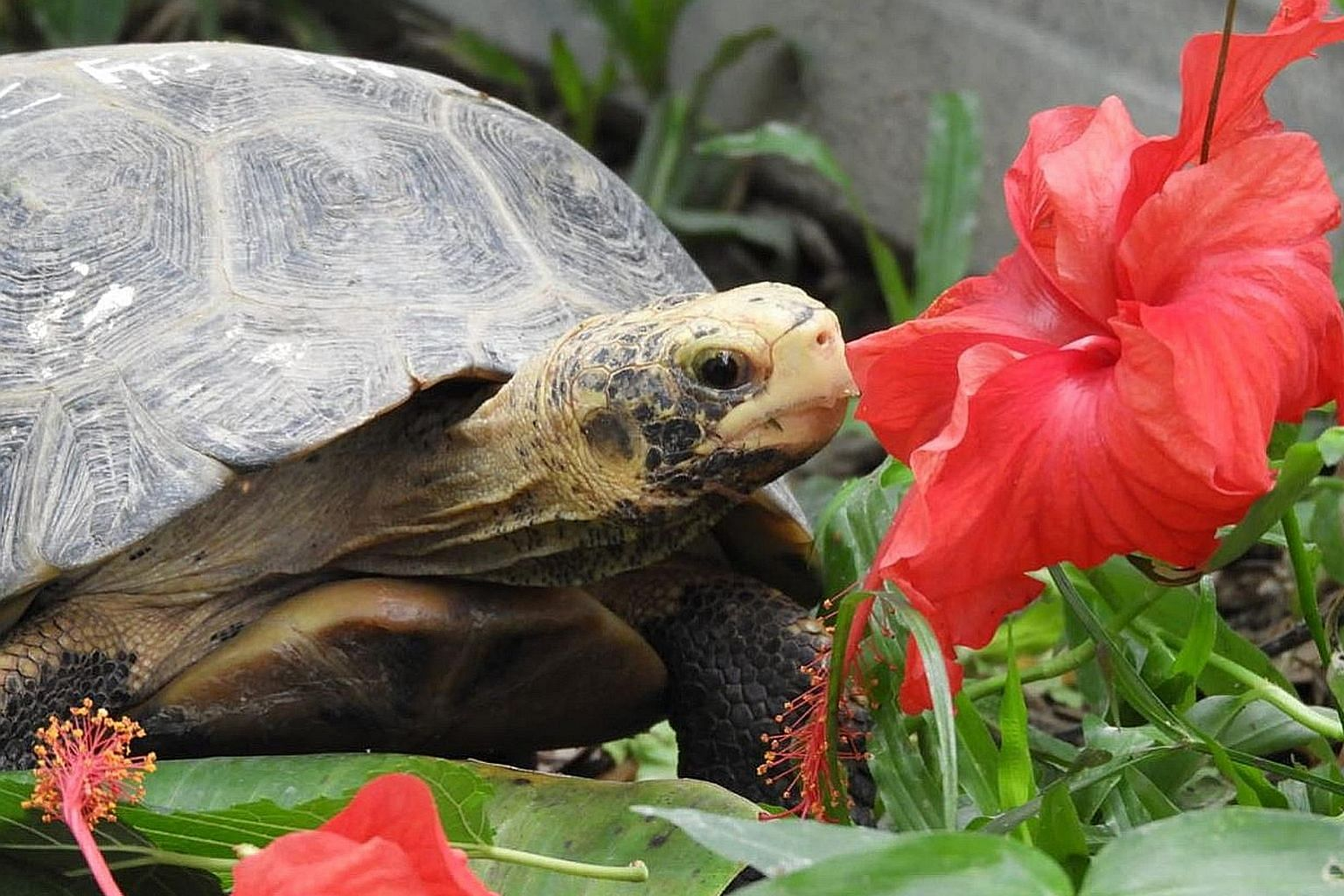 Hawkeye, a Forsten's tortoise rescued by Acres in 2015, was due to be released into a protected habitat in Indonesia last month, but travel curbs derailed the plan.
