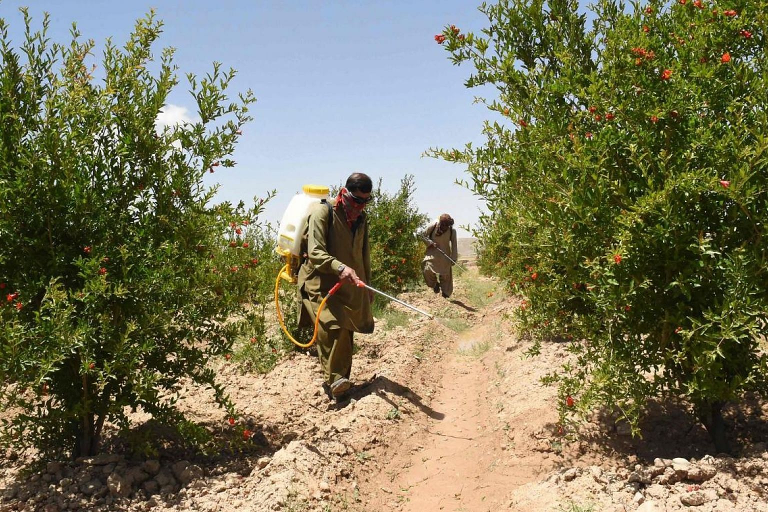 Pakistan agriculture department officials spraying pesticides to kill locusts in Pishin district. India is bracing itself for a growing assault on its western front, with droves of locusts flying in from Pakistan.
