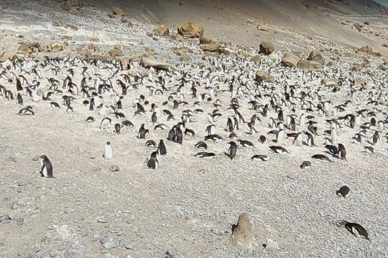 Adelie penguins (above) in Antarctica and sooty terns (below) in flight on Laysan Island, part of the Hawaiian chain of islands, are some of the birding possibilities on offer via Google Street View. Virtual birdwatching may be more comfortable, but