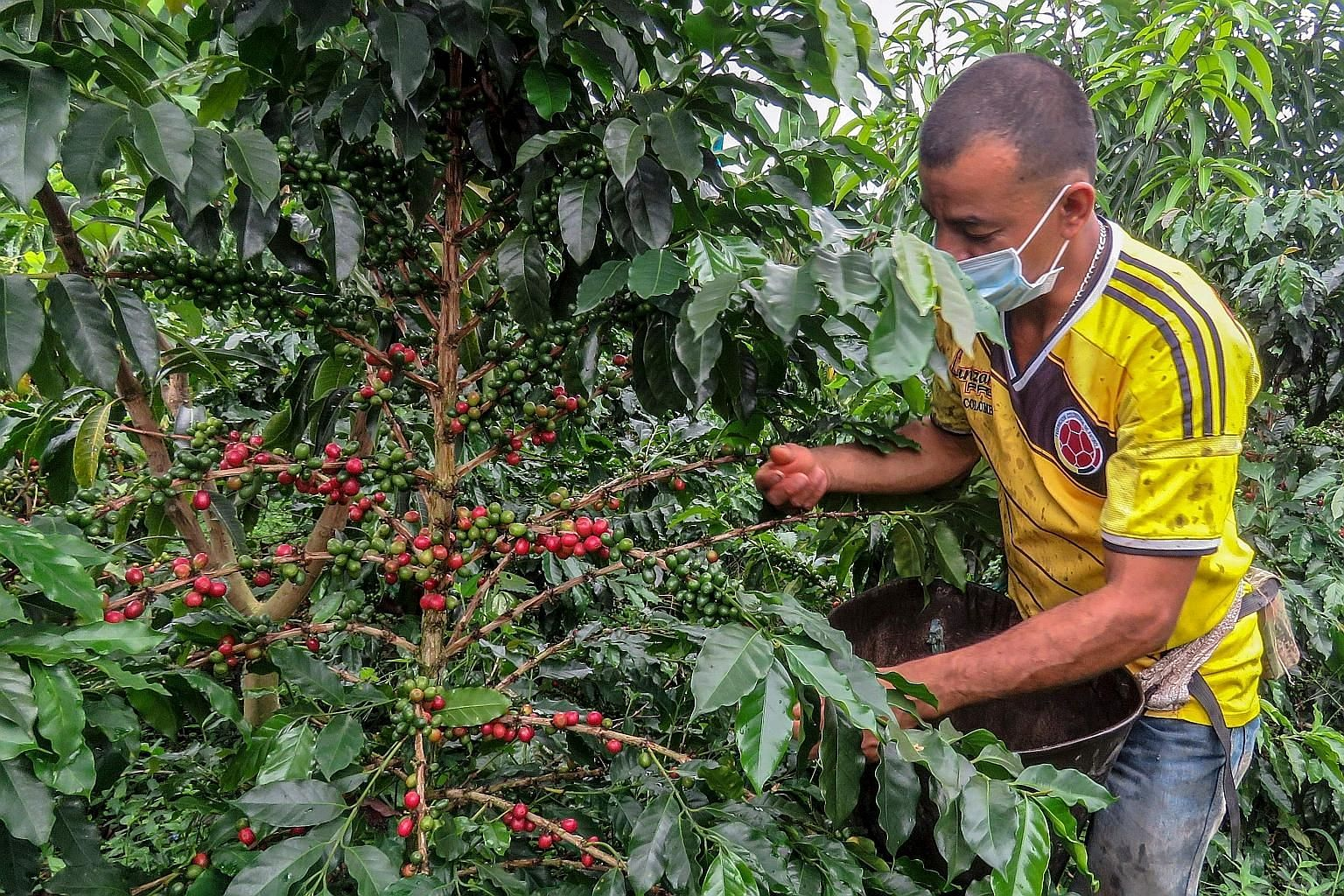 A farmer collecting coffee seeds at a plantation in Colombia last month. A skilled labour squeeze is the latest pandemic-era blow for coffee growers in the country, as travel restrictions keep out experienced seasonal pickers and force growers to use
