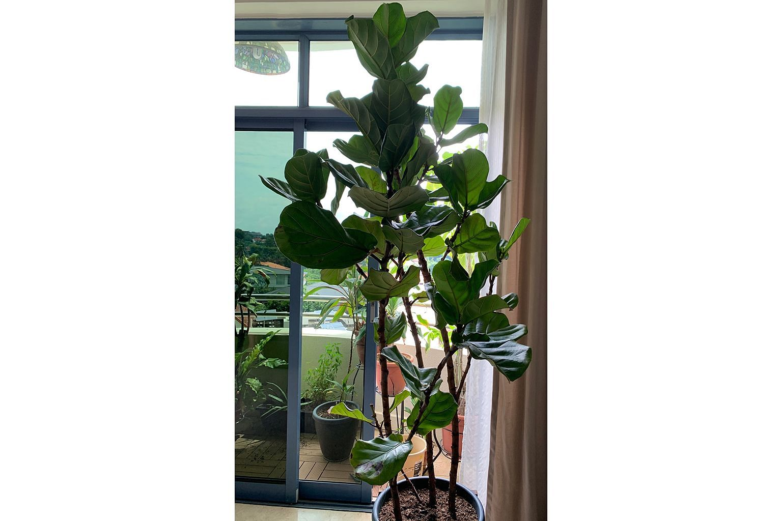 Fiddle Leaf Fig can grow outdoors into a big tree.