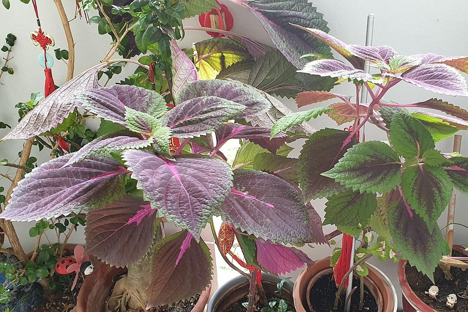 Coleus is an ornamental, foliage plant.