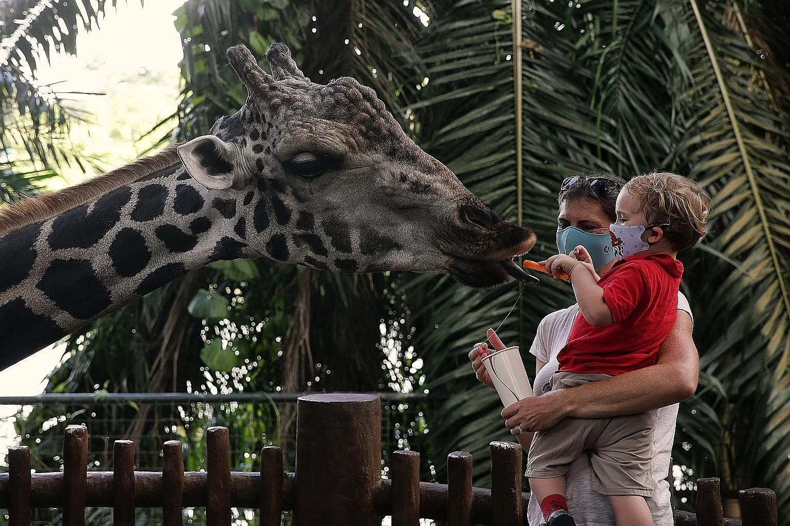 It's feeding time for Marco, a 16-year-old Baringo giraffe who gets a treat from a young visitor at at the Singapore Zoo. After nearly three months of closure since the start of the circuit breaker in April, the zoo - along with the River Safari and