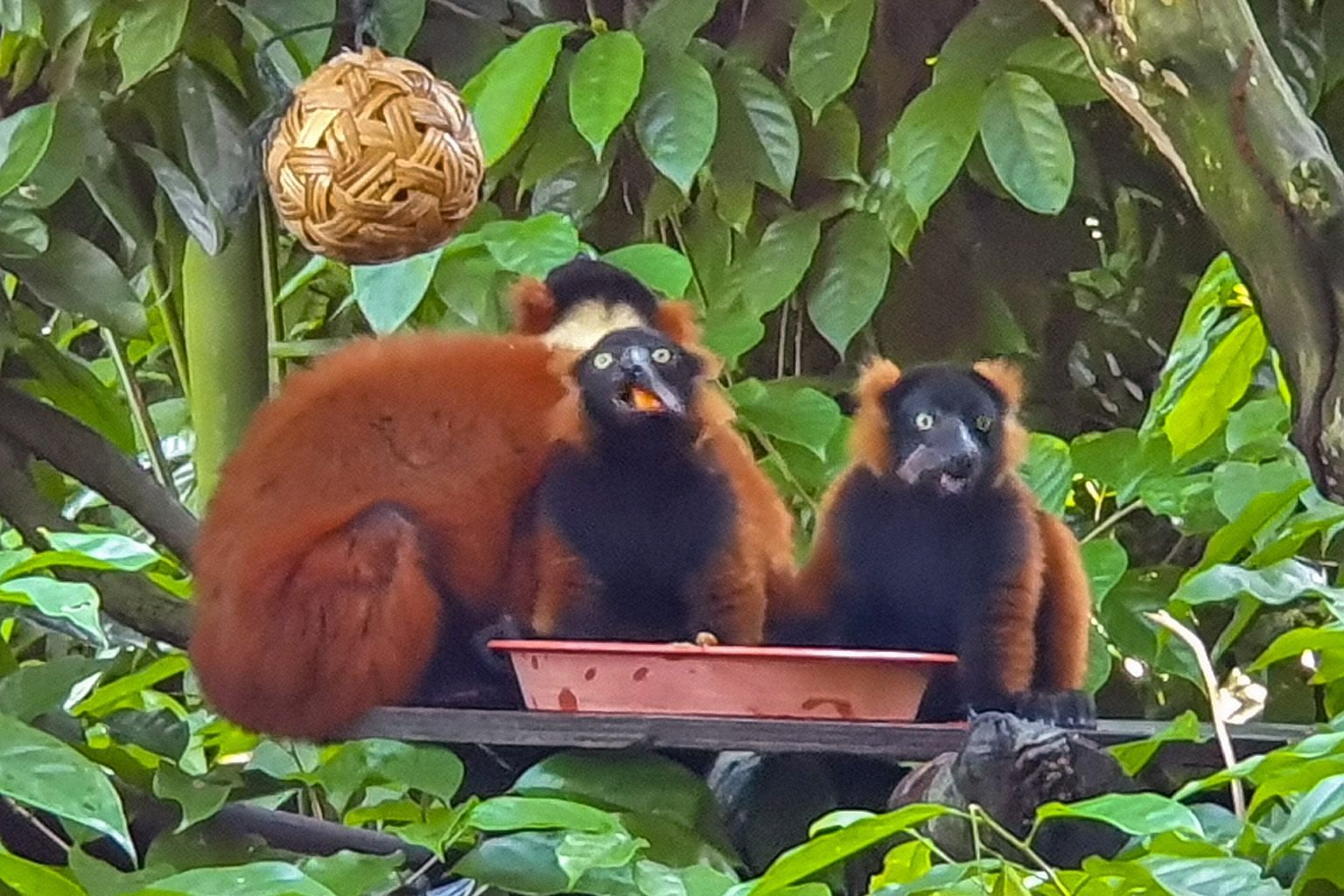 The twin red ruffed lemur babies (right, with their mother Minnie) were born at the Singapore Zoo on Feb 22. The last time the zoo welcomed the birth of the critically endangered red ruffed lemur was 11 years ago when the twins' father, Bosco, was bo