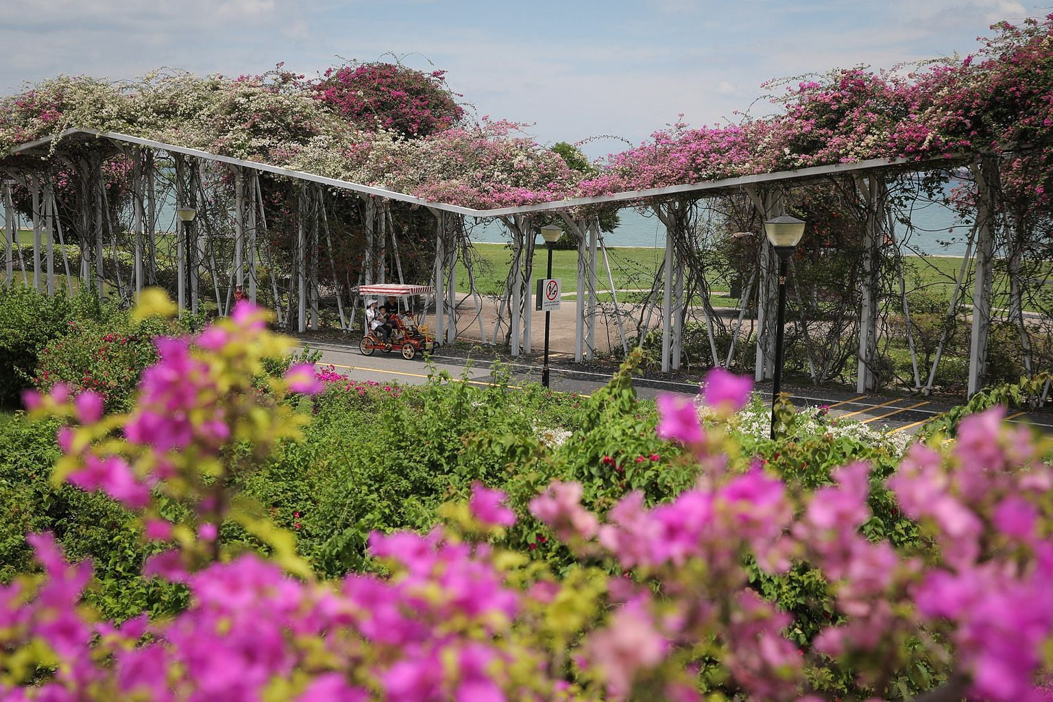Bougainvillea Garden at East Coast Park was awash with colour yesterday as the signature plants blossomed profusely in the recent wet weather. Bougainvillea, commonly found around the island, especially on overhead bridges and highways, is grown exte