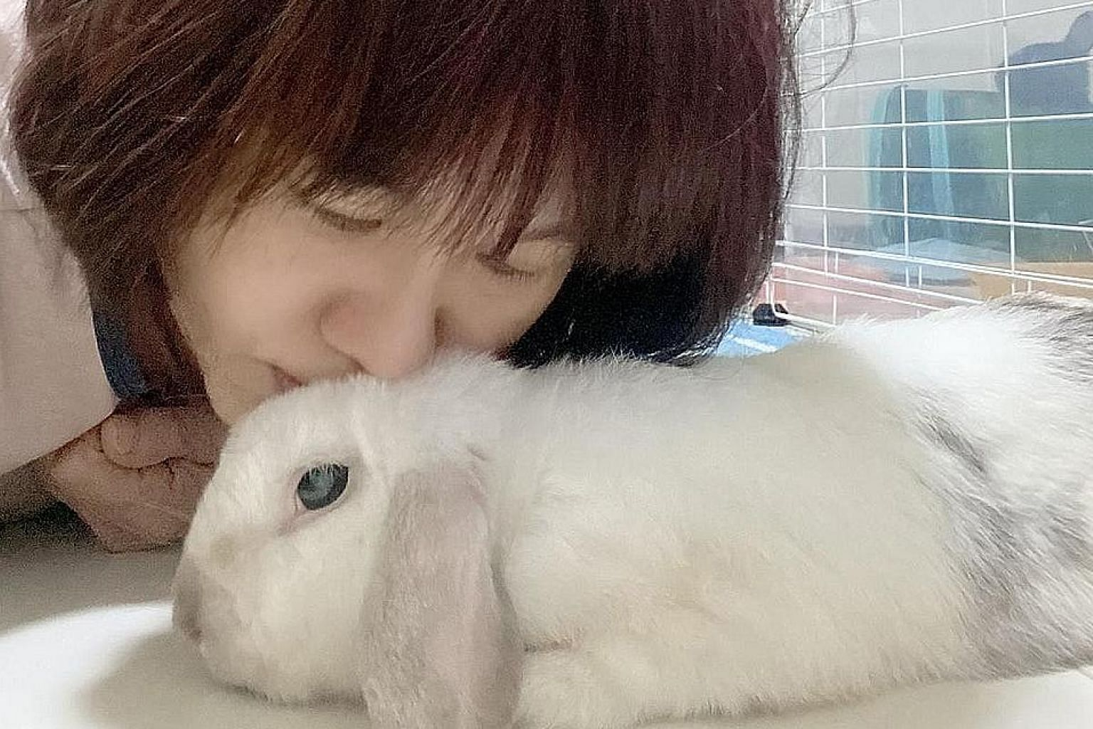 A holland lop rabbit named Sorbet with Ms Sandy Goh, a pet foster parent with the House Rabbit Society Singapore. The Animal and Veterinary Service said it is investigating possible sources of the rabbit haemorrhagic disease here. The disease is not