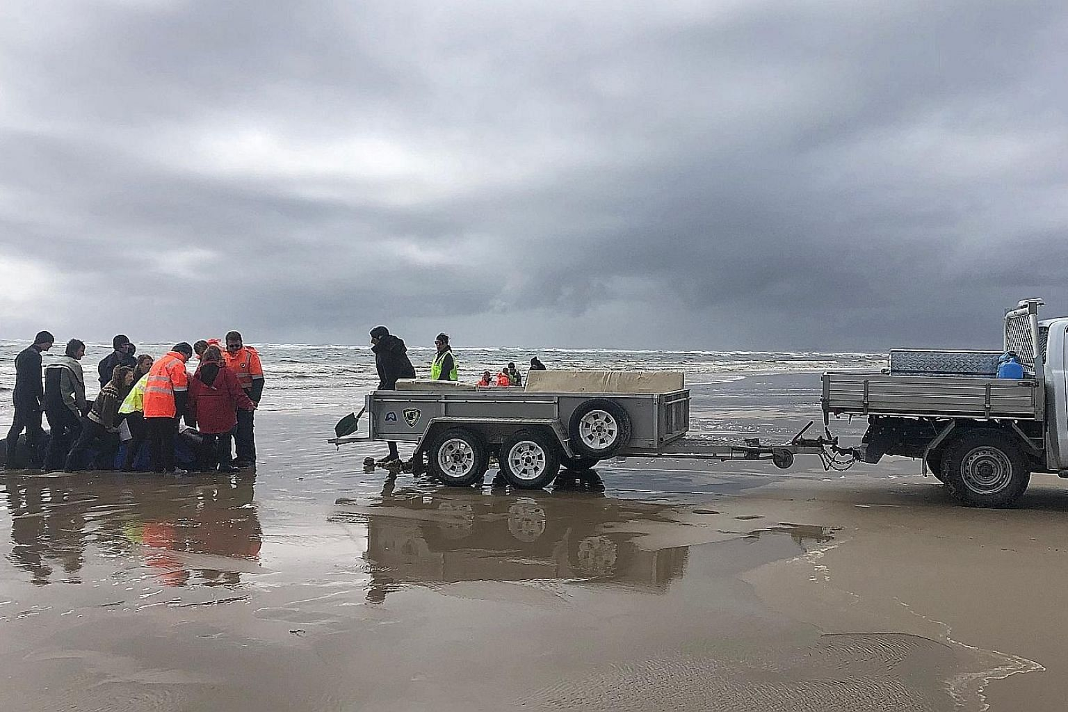 A whale being loaded onto a trailer in Macquarie Harbour on the west coast of Tasmania on Tuesday. Hundreds of pilot whales have died in a mass stranding in southern Australia, and the outlook for those still alive was said to be bleak.