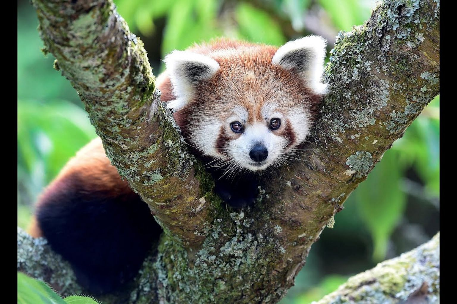 Adorable red pandas are actually two species